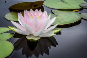 fleur-de-lotus